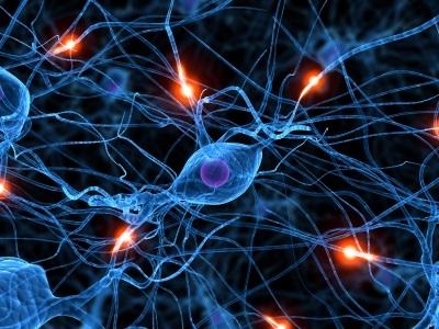 La structure du cerveau (1)