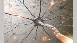 La structure du cerveau (2)