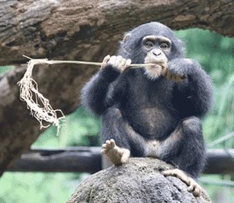 Chimpanzé mange