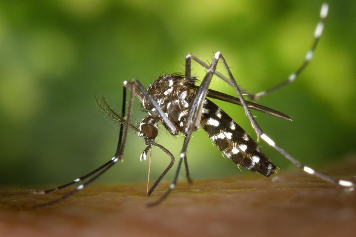 Piqûres de moustiques qui démangent: la faute à nous ou la faute aux moustiques?