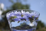 Les fleurs de Bach – Fabrication d'une fleur de Bach - Méthode de préparation des élixirs