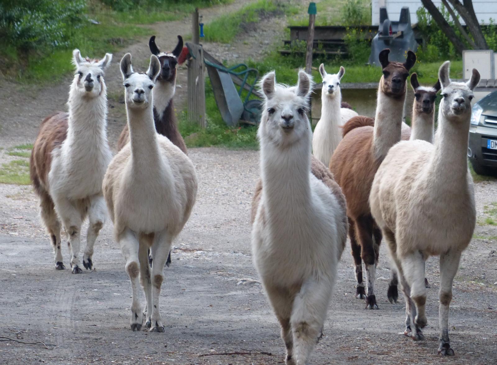 Groupe de lamas au Prat de Mu, près de Termes