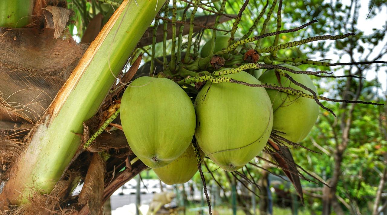 Comment décrocher le cocotier ?