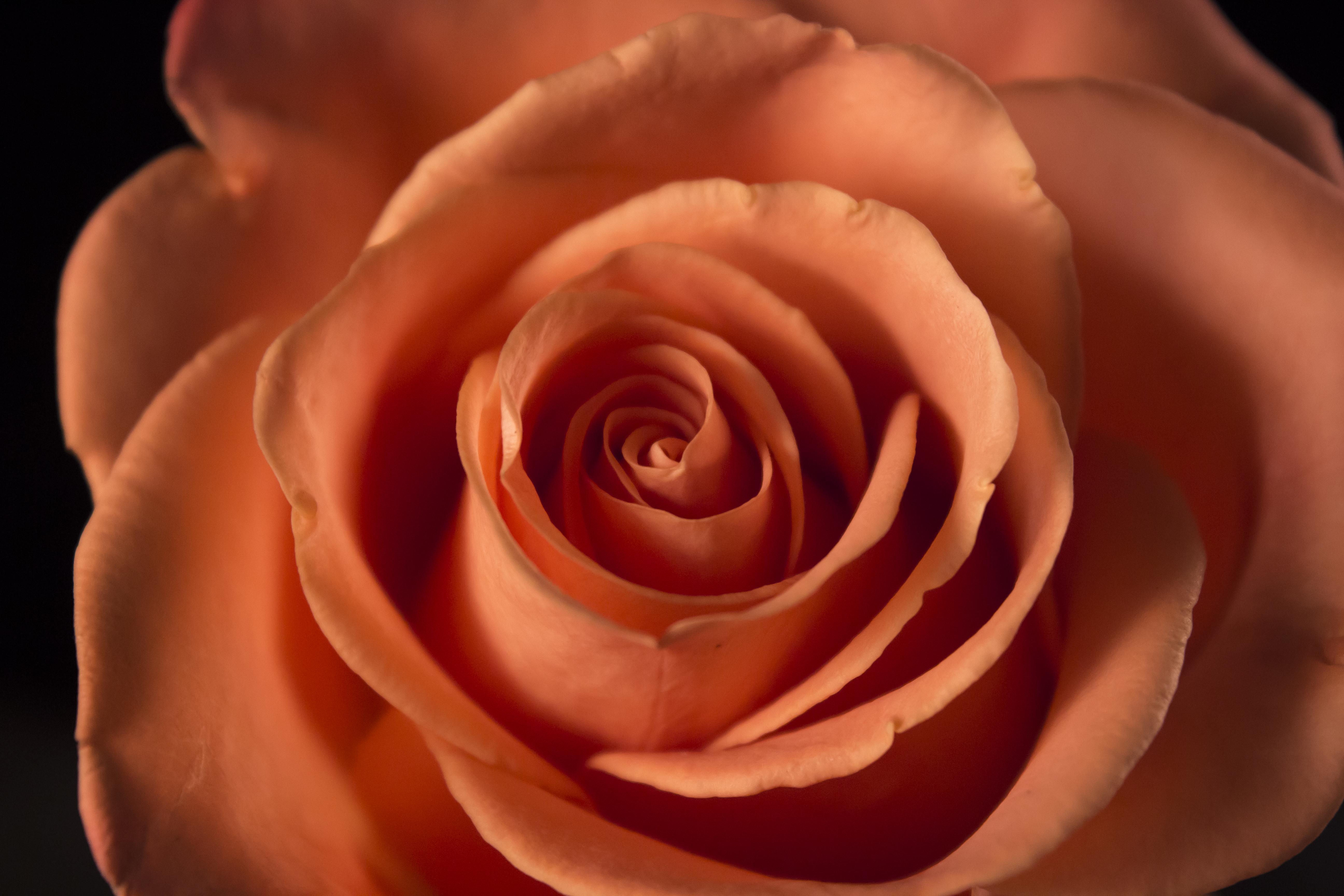 Peindre les roses