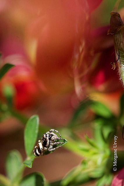 L'araignée zèbre