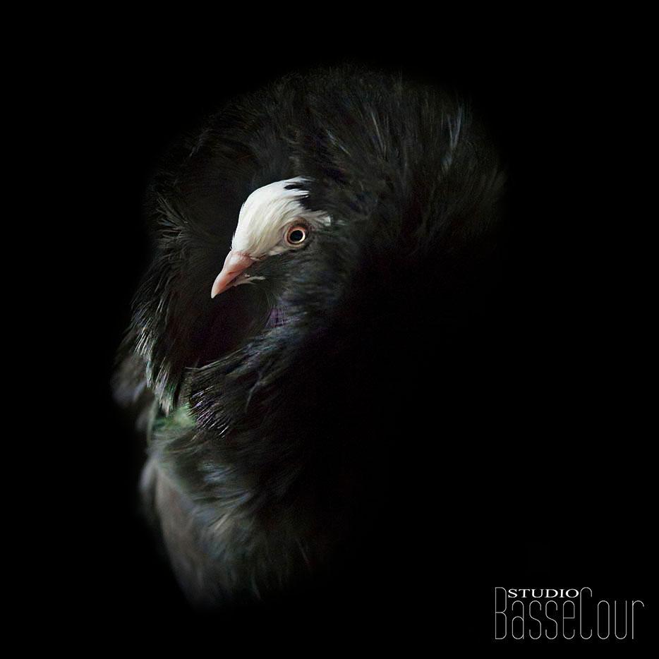 Pigeon Capucin - N°13