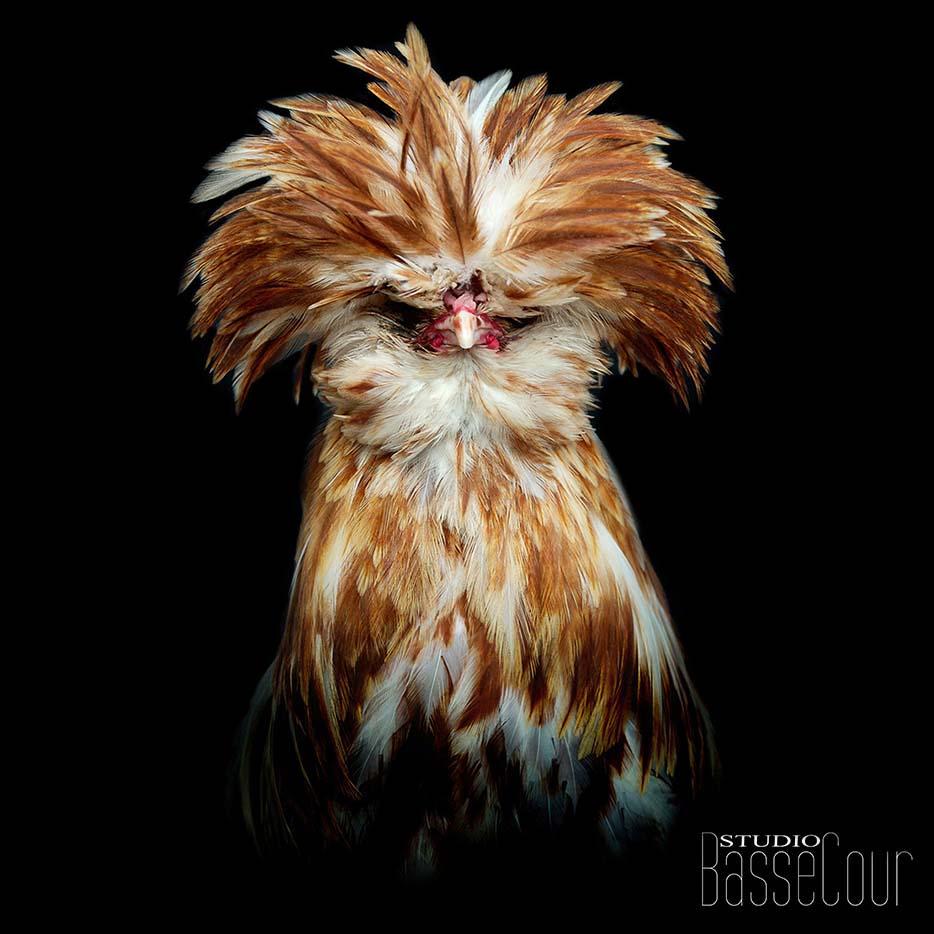 Coq Padoue -N°3