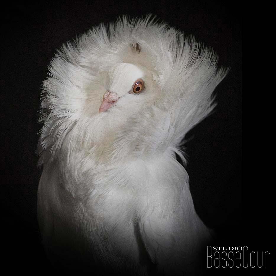 Pigeon Capucin - N°4