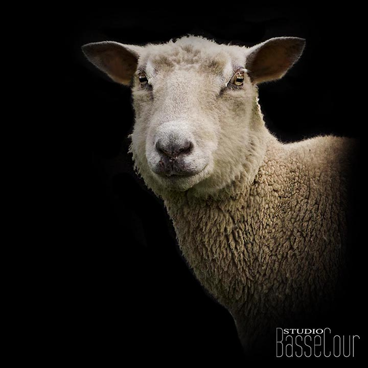 Mouton - N°23 -